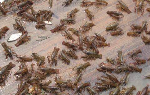 现在开始养殖龙虾一亩利润多少?
