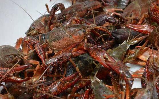 养殖一亩龙虾一年赚多少才值得养?