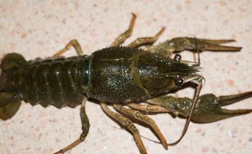 淡水小龙虾繁殖时间周期表?