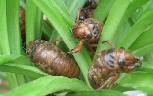 金蝉养殖只需18个月是真的吗?