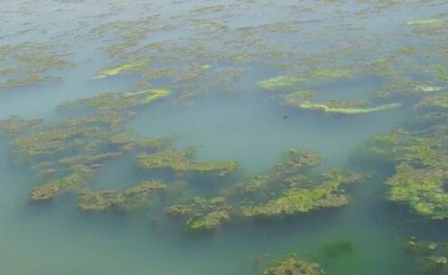 养殖小龙虾的池塘青苔要怎么