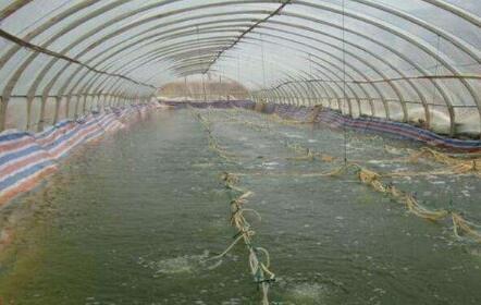 冬棚反季节养殖对虾在投苗前期换水少怎么稳定水质?