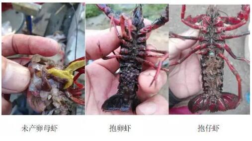 10月下旬后放小龙虾种虾注意事项有哪些?