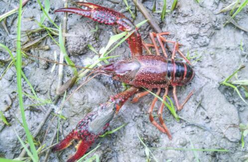 养殖小龙虾的成本需要多少怎