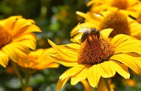 蜜蜂会在什么地方筑巢?