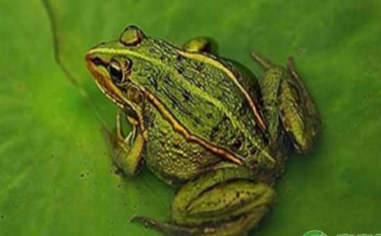 人工如何饲养青蛙?