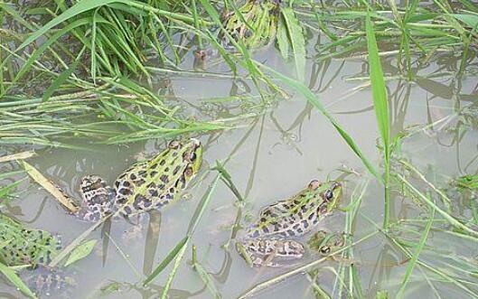 青蛙养殖的真实利润究竟有多少?