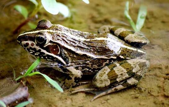 青蛙和石蛙有什么区别?