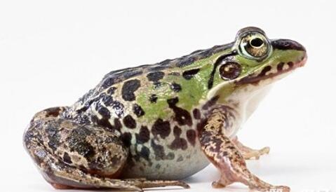 青蛙怎么分辨公母?
