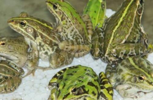 美国青蛙养殖许可证