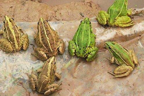 养殖青蛙卖多少钱一斤?
