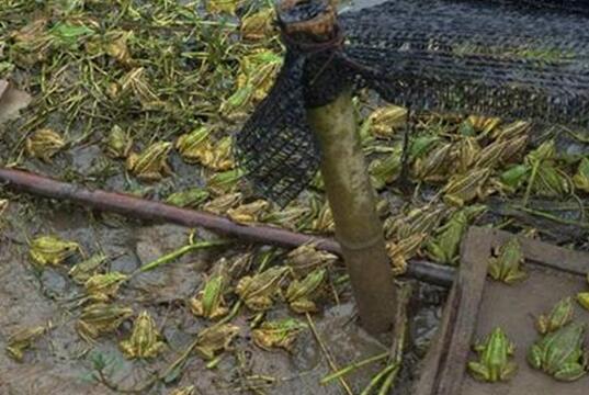 青蛙养殖成本和利润分别有多少?
