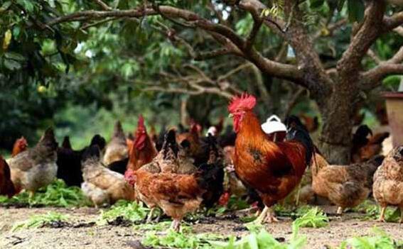 养鸡技术怎么有效预防鸡生病呢?