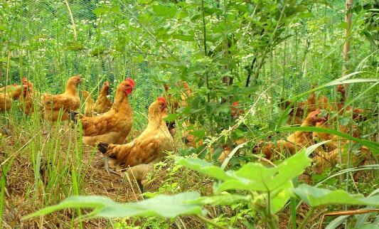 林下养鸡3000只成本要多少?