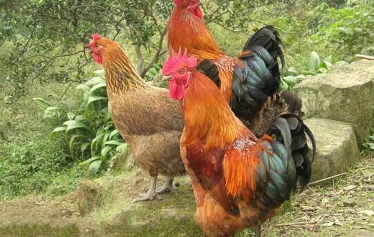 养鸡心得体会分享?