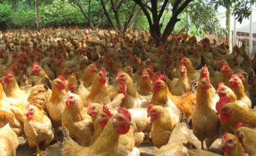 新手养鸡怎么打开销路?