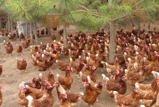 现在开办一家小型养鸡场需要投资多少钱?
