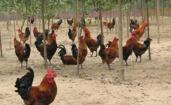 冬季养鸡的注意事项有哪些?