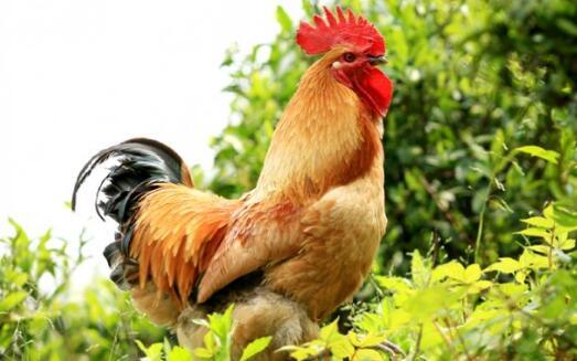 农村常见的土鸡品种一般有几种?