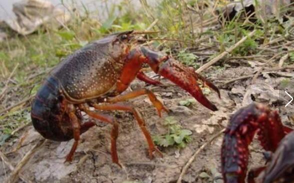养殖小龙虾的饲料如何判别质