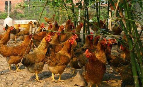 养鸡应该如何提高其成活率?