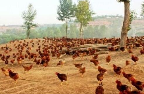 冬季肉鸡养殖需要注意什么?