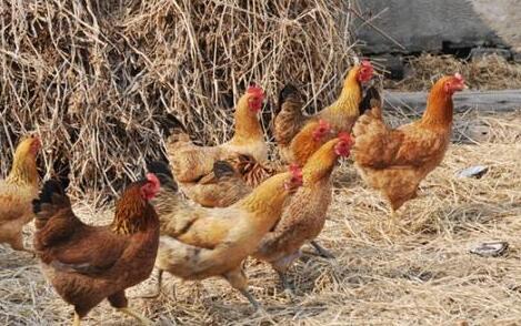 养鸡技术要怎么防生病?