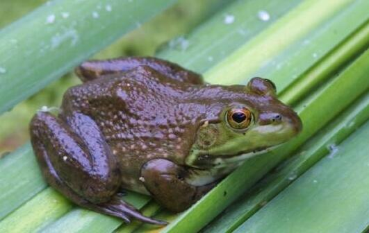 牛蛙有寄生虫吗?