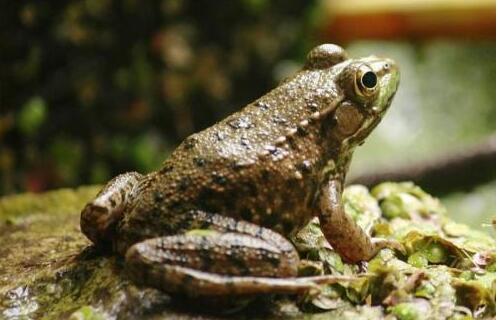 牛蛙和田鸡的区别一般有哪些?