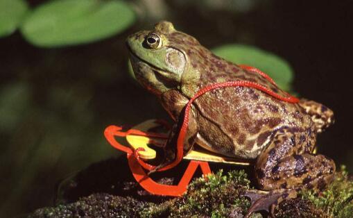 美国人为什么不吃牛蛙这里有什么原因?