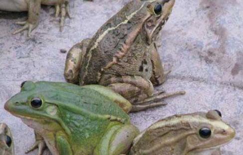 牛蛙究竟有哪些营养?