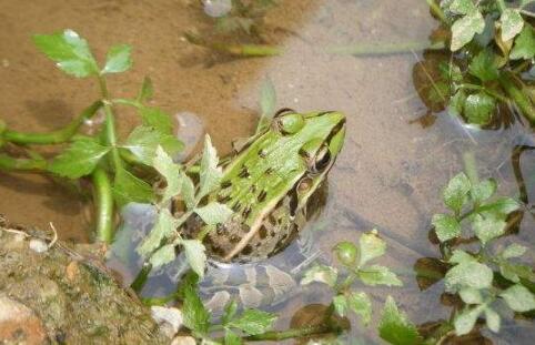 (新型)牛蛙养殖技术一般有哪些?