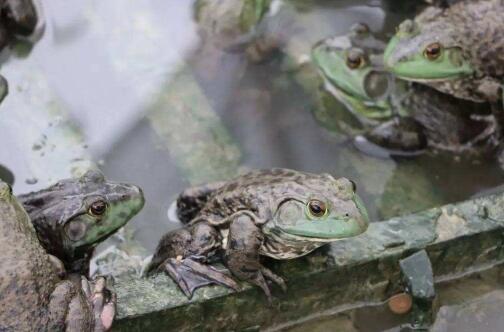 一年可以养几批牛蛙?