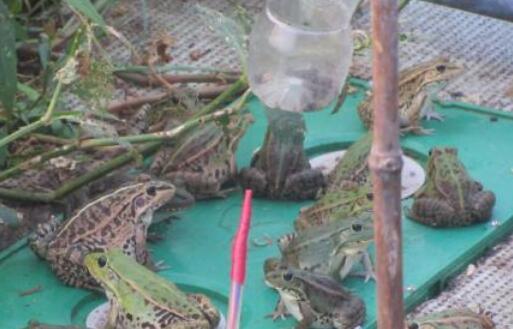 牛蛙养殖利润一般有多少?