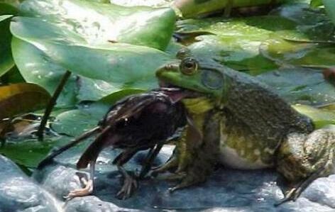 开一家牛蛙养殖场一般需要多少资金?