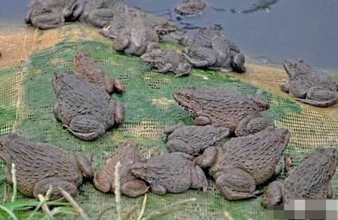 牛蛙养殖生态与病害综述有哪些?