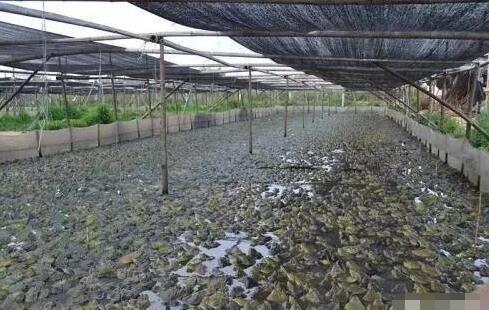 牛蛙养殖一亩大概可以收入多少?