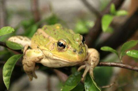 现在养牛蛙还能赚钱吗?