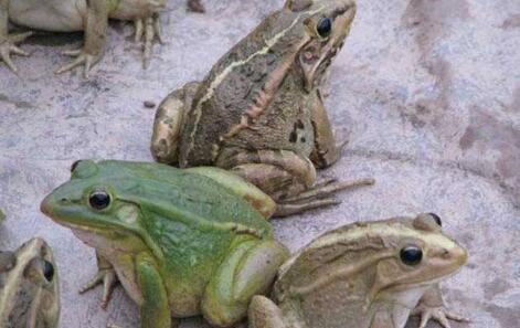 牛蛙算是青蛙吗?