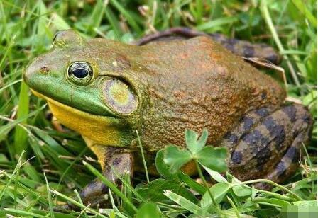牛蛙不能和什么一起吃?