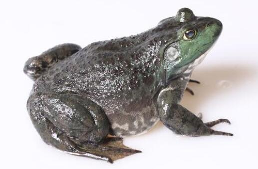 什么是牛蛙?