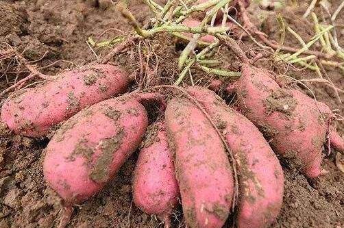 红薯种植时间一般是什么时候?