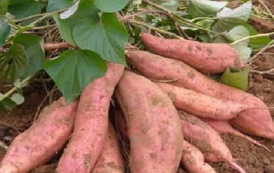 种植红薯的方法有哪些?