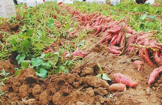 红薯种植盆栽怎么种?