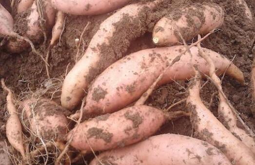 现在红薯批发价格一般要多少钱一斤?