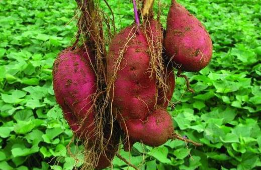 2020年红薯价格预测一般多少?