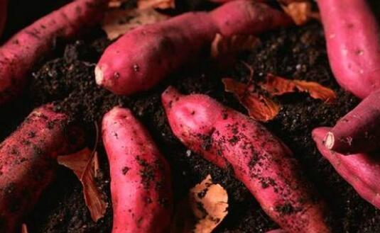 现在红薯种植的前景究竟怎么样?