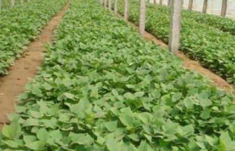 红薯种植跟土豆一样吗?