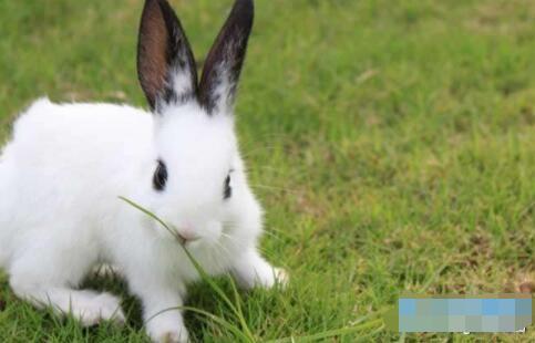 肉兔快速肥育技术一般人都不知道?