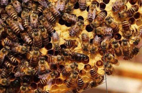 饲养中蜂的前景怎么样?